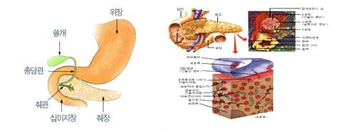 췌장의 해부구조와 생리