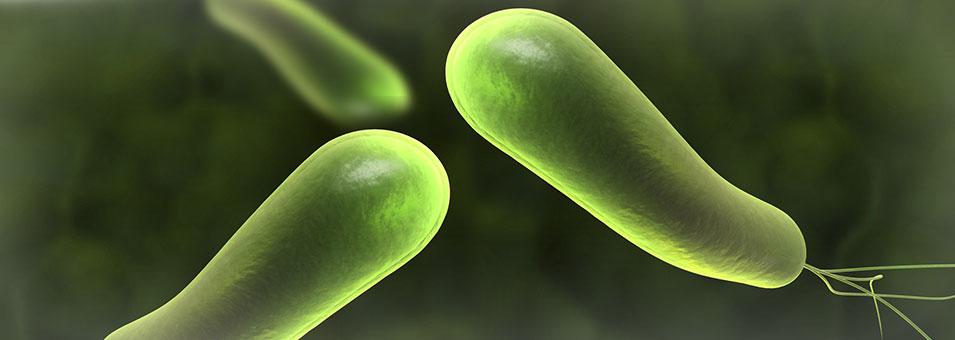헬리코박터 파이로리(Helicobacter pylori)