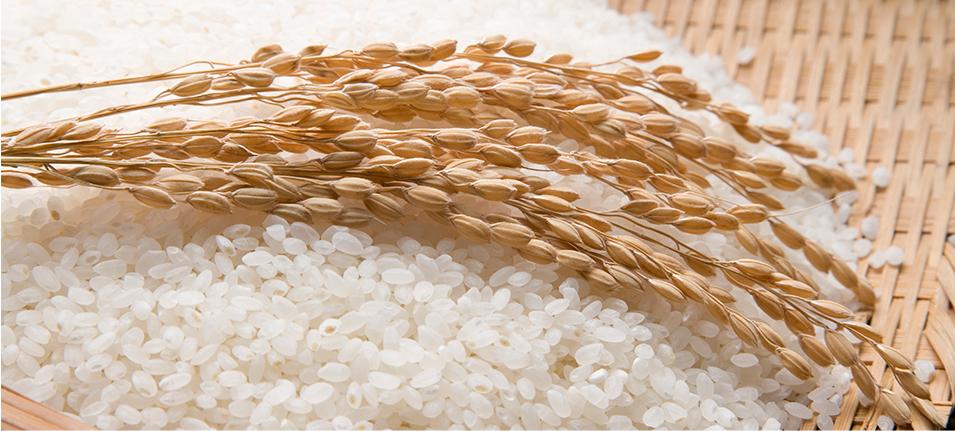 쌀위에 벼 그림